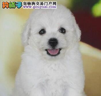 迷你比熊犬出售 广州哪里买狗便宜 广州比熊犬价格