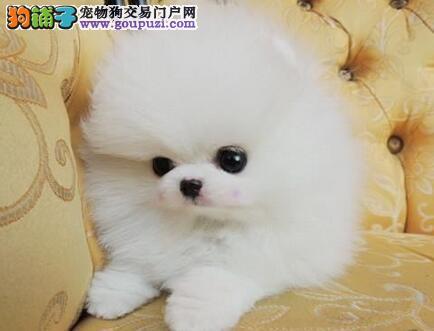 西安直销甜美小博美宝宝 高品质爆炸毛 毛量丰厚 漂亮
