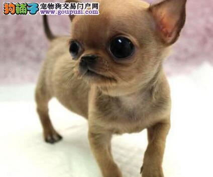 出售三针疫苗齐全的海口吉娃娃幼犬 可签订质保协议