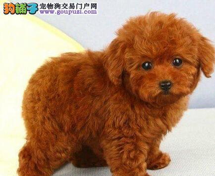 纯种健康的青岛泰迪熊幼犬出售 求好心人士收留照顾