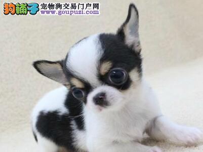可以放口袋的极品吉娃娃幼犬焦作热销中 纯血统 包健康