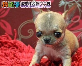 苹果脑袋吉娃娃幼犬 体型超小 非常可爱健康