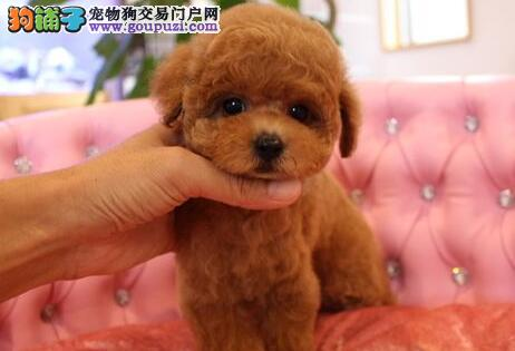 济南专业繁殖场出售健康纯种的泰迪犬 2~4窝可以挑选