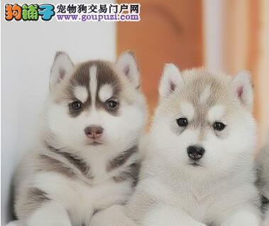 重庆本地狗场出售精品哈士奇 已做好疫苗驱虫保证品质
