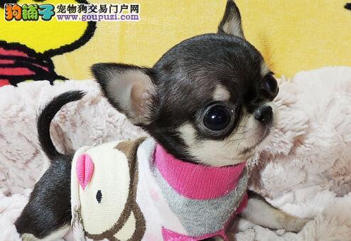 转让品相好体型佳的上海吉娃娃宝宝 袖珍茶杯血系