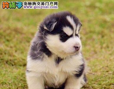 北京赛级哈士奇犬舍协会定点犬舍签订协议出售哈士奇