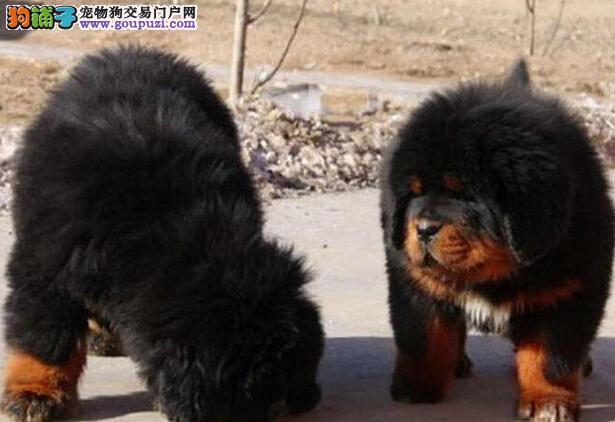 繁殖基地出售多种颜色的藏獒狗贩子请勿扰