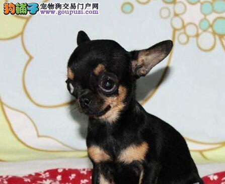 墨西哥纯血统的吉娃娃幼犬找新家 石家庄市内可送货