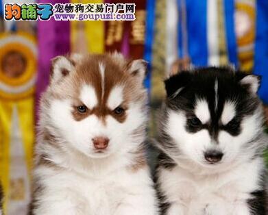 兰州正规犬舍出售哈士奇幼犬 建议大家上门选购爱犬