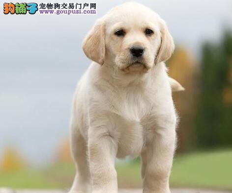 厦门狗场专业繁殖出售颜色齐全的拉布拉多犬 保证品质