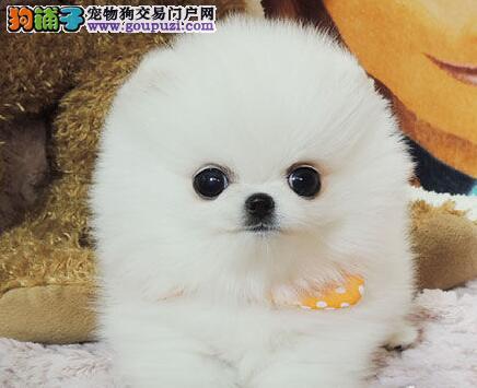 专业正规犬舍热卖优秀的荆州博美犬保障品质一流专业售后
