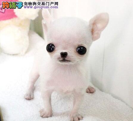 成都出售健康纯种的吉娃娃幼犬 成都哪里卖吉娃娃犬