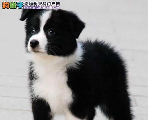 热销优秀七白到位上海边境牧羊犬 品质高纯度高