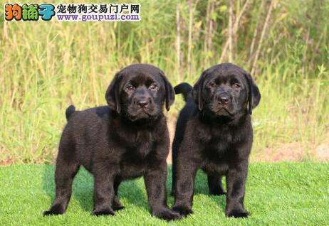 出售疫苗齐全的佛山拉布拉多犬 购买无任何后顾之忧