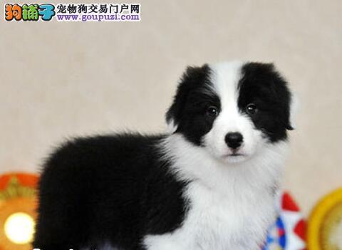 武汉正规犬舍出售身体匀称的边境牧羊幼犬 七百到位