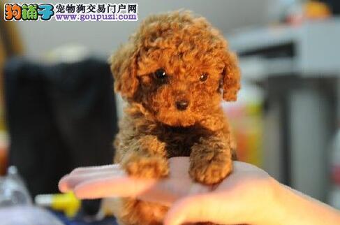 出售精品的南京贵宾犬 多种颜色多只幼犬供您选购