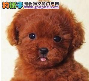 顶级优秀的纯种泰迪犬热销中签订终身协议