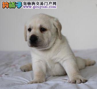银川直销冠军级种犬后代拉布拉多犬 多重保障 放心购买
