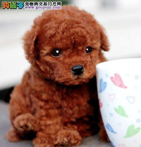 暖系泰迪上海真情奉上 保证健康及品质 欢迎上门看狗狗