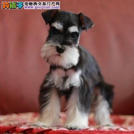深圳哪里买狗 深圳哪里买纯种雪纳瑞 找广东南官狗场