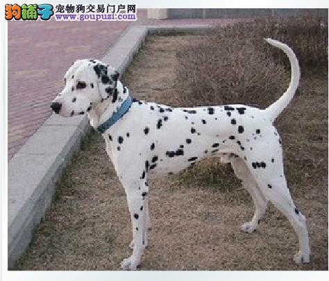 热销斑点狗幼犬、金牌店铺品质保障、购买保障售后