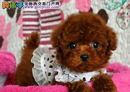 人见人爱花见花开的济南泰迪犬找新家 包质量售后品质