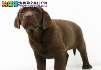 出售桂林拉布拉多犬 欢迎广大顾客上门选购看狗
