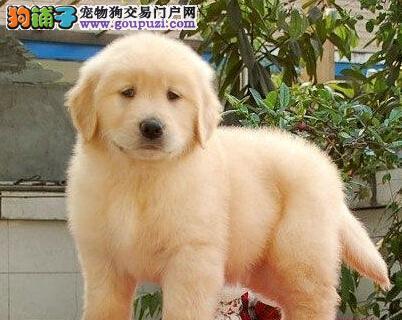 自信忠诚无锡金毛幼犬宝宝 低价热销 是理想的家庭犬