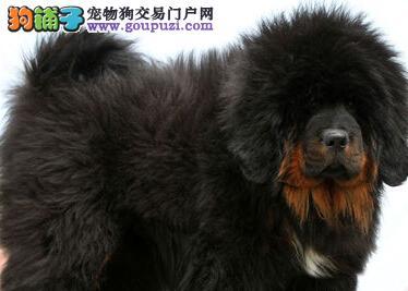 深圳哪里有卖藏獒犬 深圳小熬多少