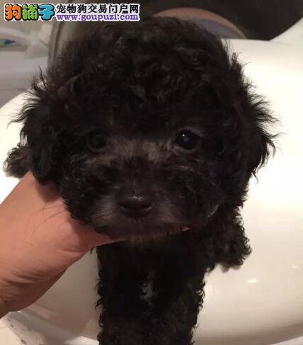 贵宾犬幼犬出售中 血统认证保健康 绝对信誉保证