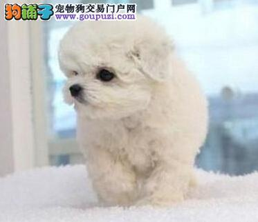优质卷毛南昌比熊犬预售中 可提前预定购买可送用品