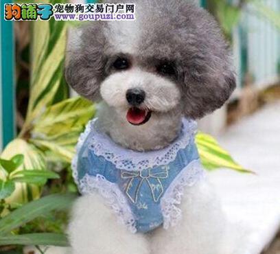 萌系泰迪幼犬乌鲁木齐找新家了 买的是健康 是放心
