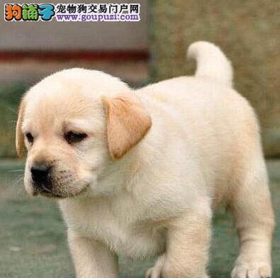 自家犬舍繁殖出售精品纯种合肥拉布拉多犬 价格公道