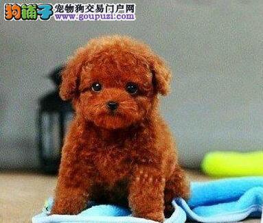 广州实体店面出售纯种健康的泰迪犬 终身免费售后服务
