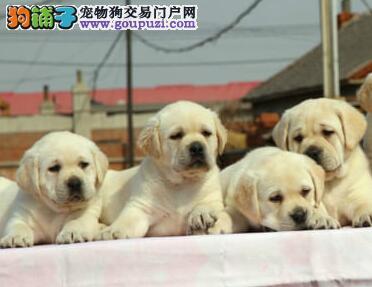 直销价格出售精品福州拉布拉多犬 颜色多正规犬舍经营