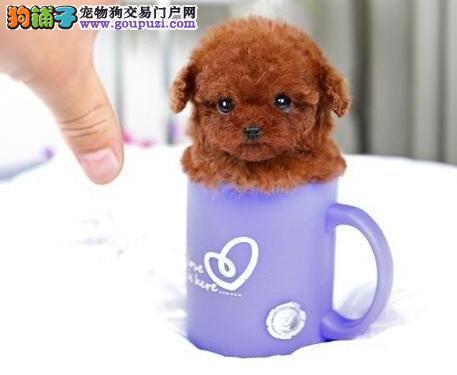 实物拍摄的泰迪犬找新主人市内免费送货