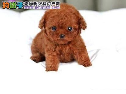 活泼可爱的兰州泰迪犬找新主人 品种齐全 多只供选购
