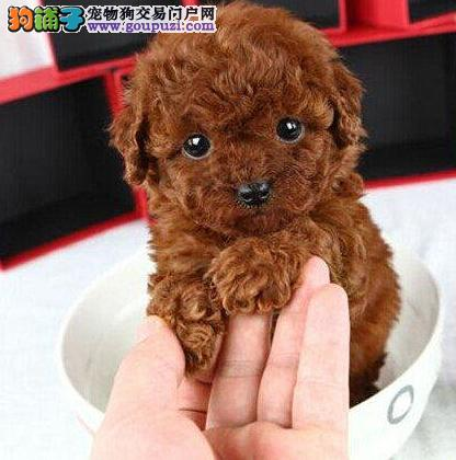 西宁犬舍出售纯种泰迪宝宝 活泼可爱欢迎选购 送礼物哦