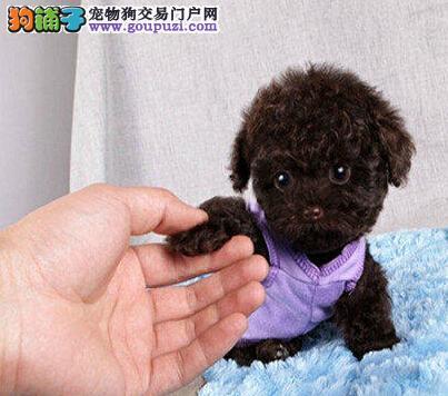可爱纯种泰迪犬沈阳犬舍直销 纯正韩国血统有证书