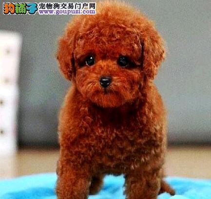 公母均有的郑州泰迪犬找爸爸妈妈保证冠军级血统
