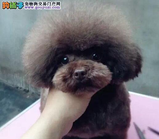 深圳纯种茶杯玩具泰迪犬 品相好 颜色齐 签售后包健康