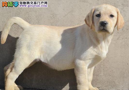 金昌CKU认证犬舍出售高品质拉布拉多价格美丽品质优良