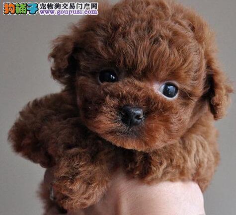 自家繁殖的兰州泰迪犬找新爸爸妈妈 求好心人士收留犬