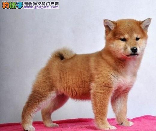 精典品质柴犬出售 正规狗场 签订质保协议 可送货上门