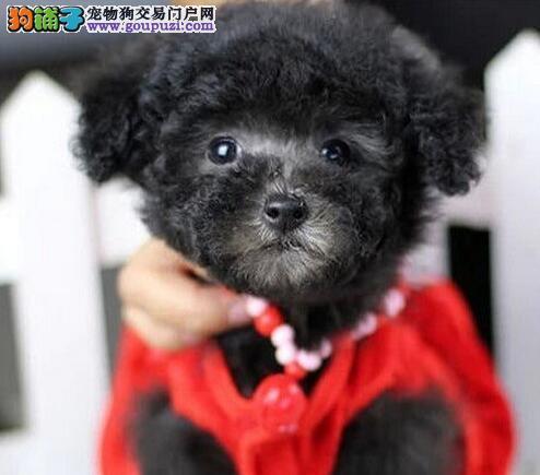 超可爱的小杯体泰迪宝贝找新主人 济南的朋友上门看狗