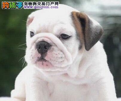 出售纯种健康的青岛英国斗牛犬幼犬保证冠军级血统