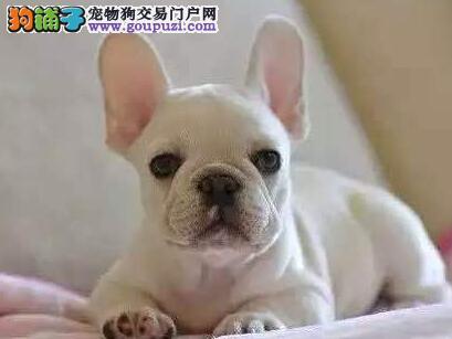 高品质的福州法国斗牛犬找爸爸妈妈微信咨询视频看狗