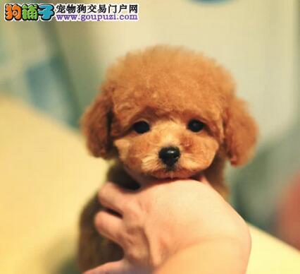 实物拍摄的泰迪犬找新主人期待您的光临