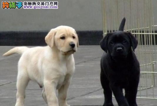 南京犬舍特价出售拉布拉多幼犬 多窝可选包纯种