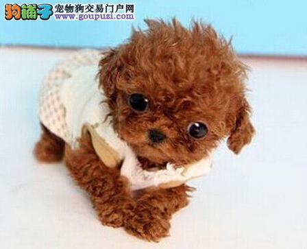 兰州正规犬舍出售茶杯玩具血系的泰迪犬 带血统证书
